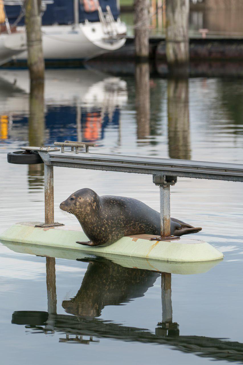 Seehund findet sein Zuhause im Yachthafen